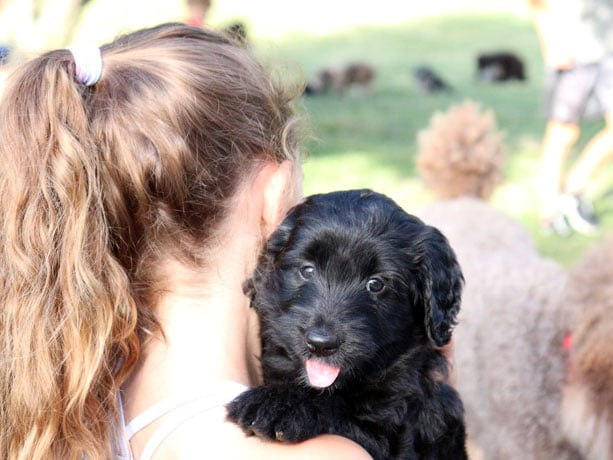 black aussiedoodle puppy looking at the camera from the back of a girl's shoulder